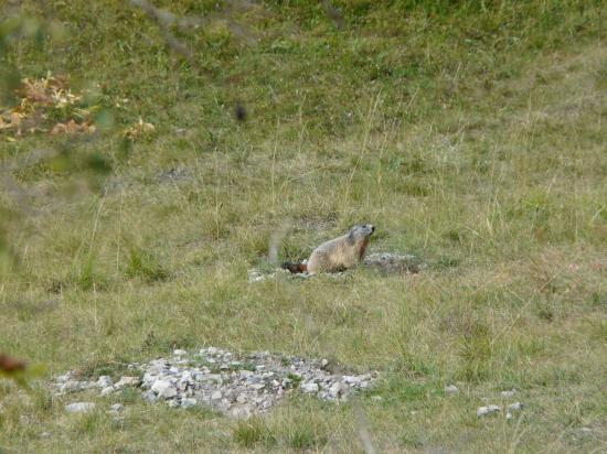 Marmotte à St Ours-Meyronnes-Alpes de hte Provence-2008