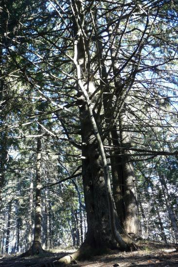 Superbes arbres à grimper aux environs du rocher du Roux