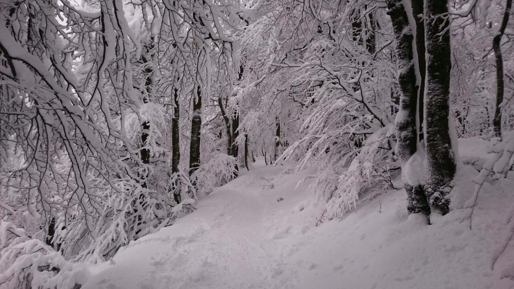 Montée dans le calme en sous bois, dans la trace des raquettes (col de la Schlucht)