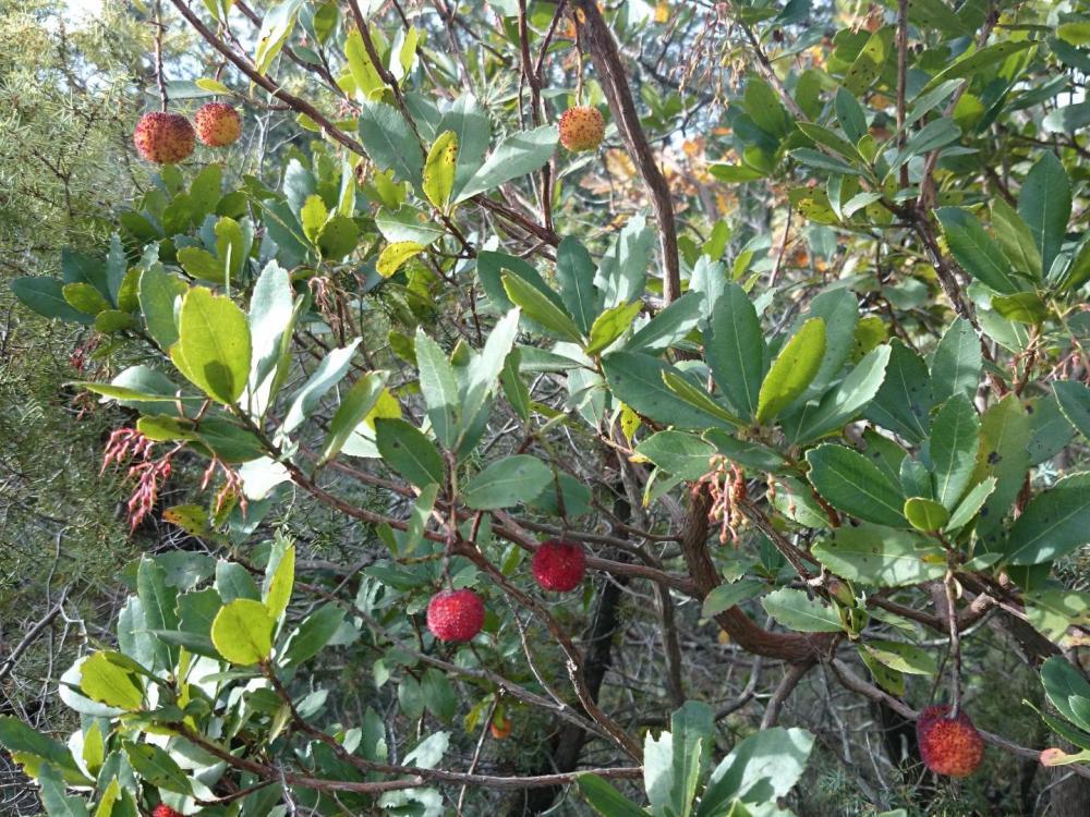 Contraste de couleurs en ce milieu d' automne, mais de quel variété d'arbuste s'agit - il ?