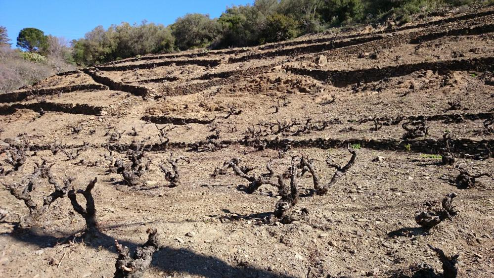 Route du col de Banyuls au milieu des vignes !