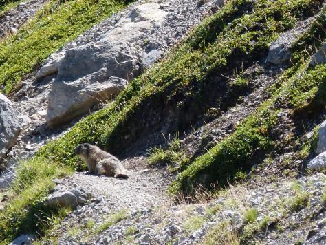 la marmotte de service au rocher Blanc (Serre Chevallier)
