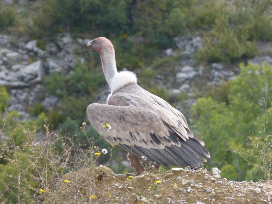 magnifique vautour fauve observé depuis la route peu après St Auban (décharge ?)