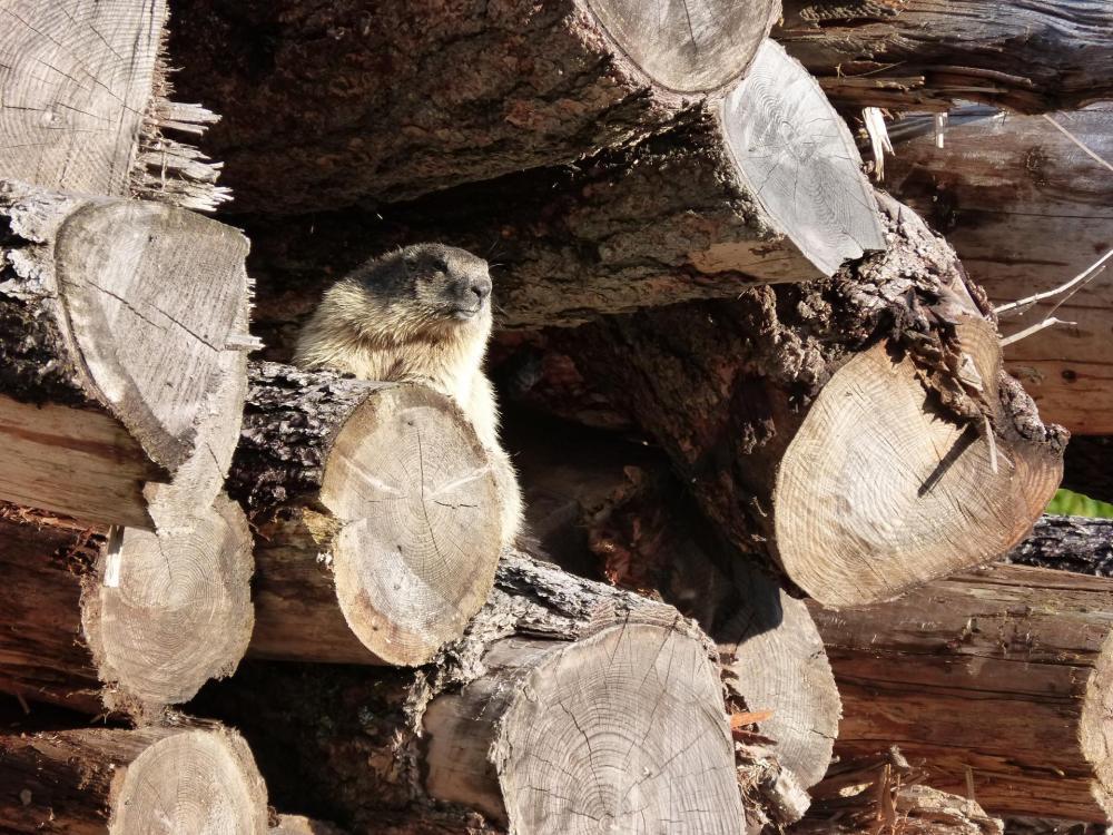 La marmotte surveille l' accès à la via ferrata !