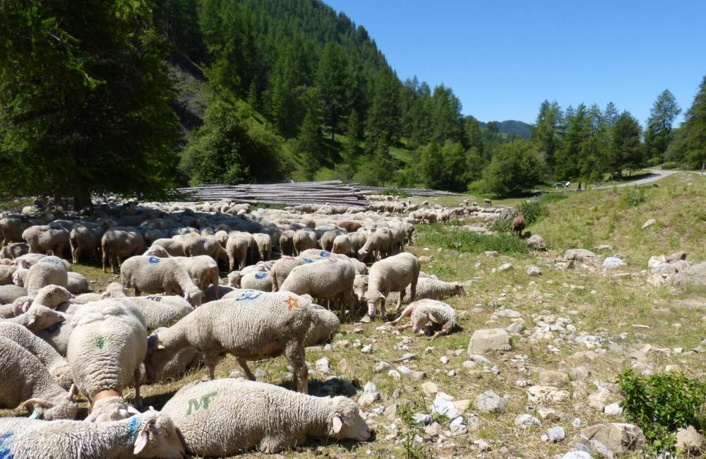 Retour de via la via ferrata de Rouanne au mileu des mouton peu avant le parking