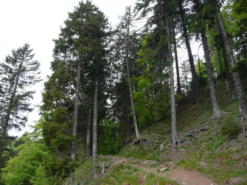 En descendant des rochers du Tanet vers le lac vert, magnifiques arbres !