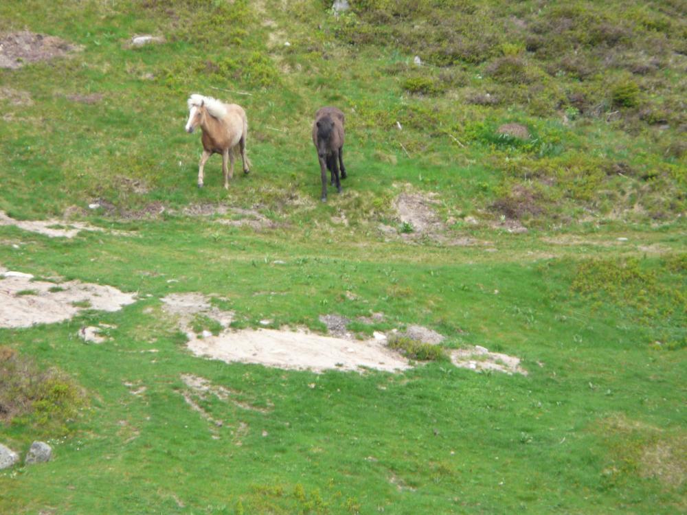 les chevaux islandais  du tanet