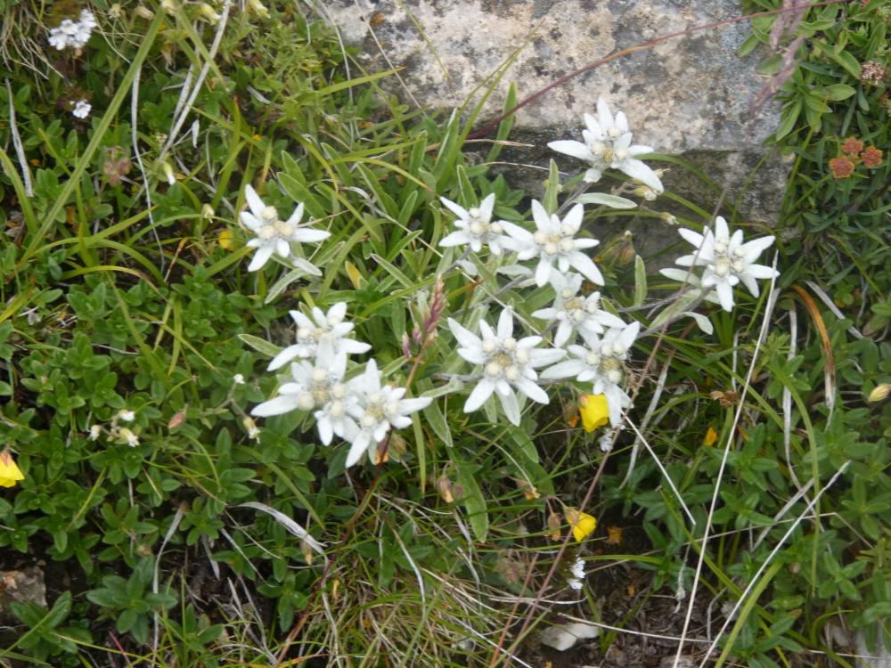 magnifique tache d'edelweiss, dans la descente de l'aiguillette du Lauzet