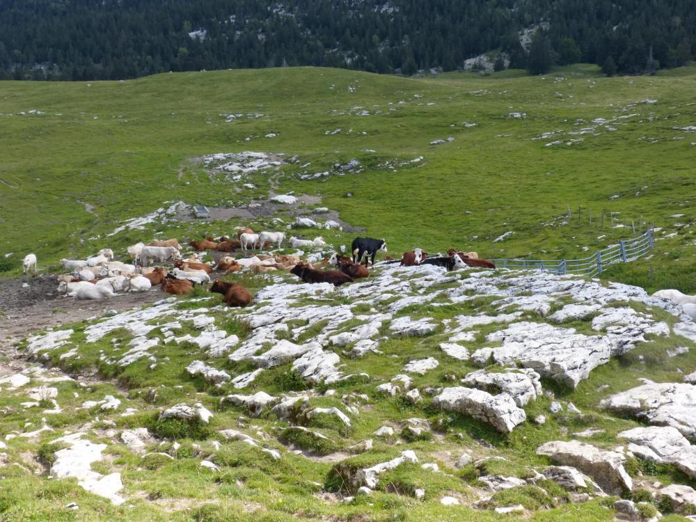 l' Alpage après le col de l' Alpette, toutes les vaches ne sont pas encore descendues !