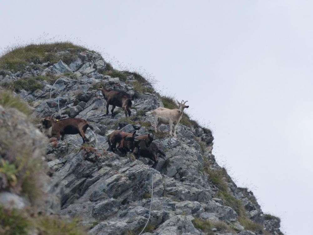 ... sans oublier le dernier obstacle avant le sommet ... les chêvres !!!