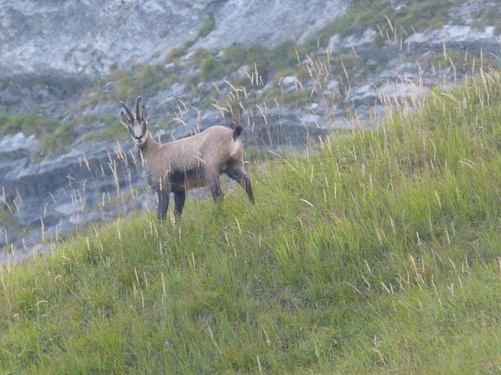 Sur le retour, un chamois solitaire vu depuis la route pastorale