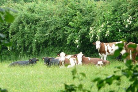 les vaches et les jeunes taureaux