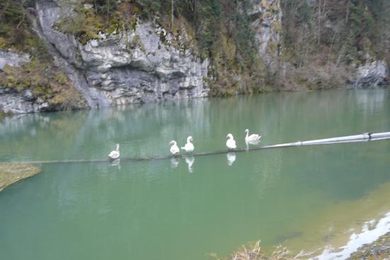 Oies sauvage sur le barrage du Refrain (Charquemont-25)