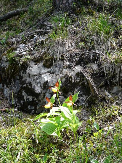 orchidée sauvage rencontrée en descendant le pas de la mort à St Même-St pierre d' Entremont